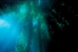 Sunlight through the kelp