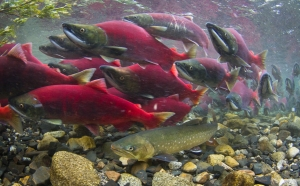 Dolly-Varden-among-sockeye-salmon