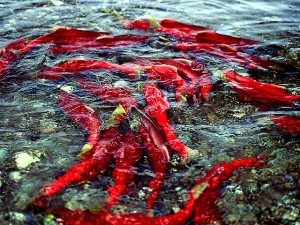 spawning-sockeye-school-600x450