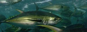 The Yellowfin Tuna (Thunnus albacares)